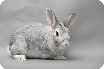 Chinchilla, Standard for adoption in Los Angeles, California - Silver Moon
