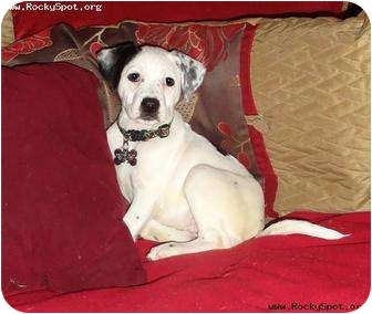 Dalmatian/Pointer Mix Puppy for adoption in Newcastle, Oklahoma - River