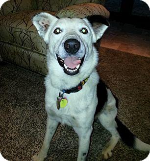 Border Collie/Australian Cattle Dog Mix Dog for adoption in Edmond, Oklahoma - Frisco