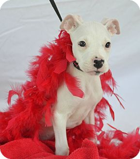 Boxer/Pit Bull Terrier Mix Puppy for adoption in Plano, Texas - Beatty
