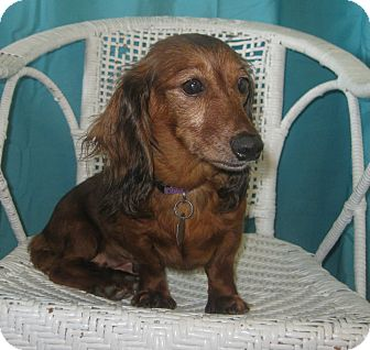 Dachshund Dog for adoption in Prole, Iowa - Chrissy