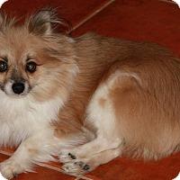 Adopt A Pet :: Bindi - Gilbert, AZ