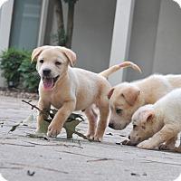 Adopt A Pet :: Linus - Houston, TX