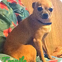 Adopt A Pet :: Tequila - Conway, AR