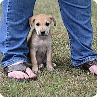 Adopt A Pet :: joslyn - Groton, MA