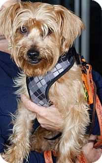 Yorkie, Yorkshire Terrier Dog for adoption in Freeport, New York - Carmelo