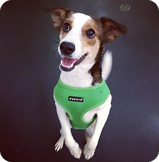 Jack Russell Terrier/Rat Terrier Mix Dog for adoption in Jersey City, New Jersey - Sidse Babett Knudsen
