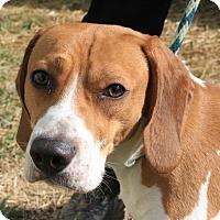 Adopt A Pet :: Bruno - Martinsville, IN