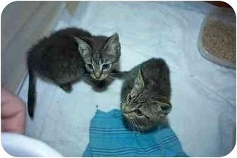 Domestic Shorthair Kitten for adoption in Little Neck, New York - lookin 4 2