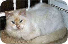 Himalayan Cat for adoption in Cleveland, Ohio - Hanna
