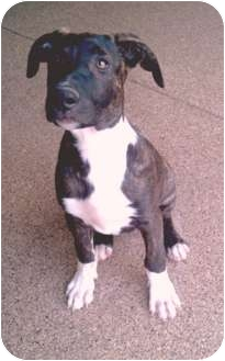 American Pit Bull Terrier Mix Puppy for adoption in Phoenix, Arizona - Jack