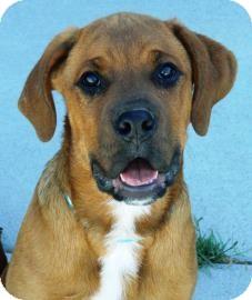 Boxer Mix Puppy for adoption in Cheyenne, Wyoming - Frik