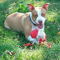 Pit Bull Terrier Mix Dog for adoption in benson, North Carolina - django