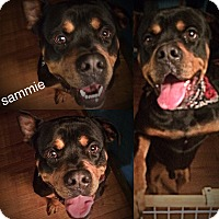 Adopt A Pet :: Sammie - Glastonbury, CT