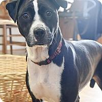 Adopt A Pet :: Shadow - Homewood, AL