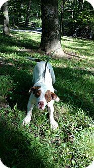 Clumber Spaniel Mix Dog for adoption in Capon Bridge, West Virginia - Zeus