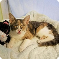 Domestic Shorthair Kitten for adoption in Alamo, California - MSF3