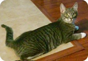 Domestic Shorthair Kitten for adoption in North Highlands, California - Navy