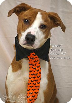 Pointer Mix Dog for adoption in Newnan City, Georgia - Woody
