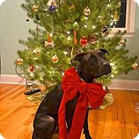Adopt A Pet :: Choco - Reisterstown, MD