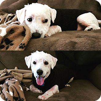Westie, West Highland White Terrier/Havanese Mix Dog for adoption in Omaha, Nebraska - Pippin-Pending Adoption