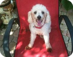 Poodle (Miniature) Dog for adoption in Melbourne, Florida - HARVEY