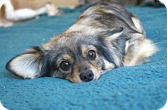 Papillon/Pomeranian Mix Dog for adoption in Temecula, California - Murray