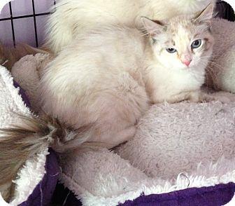 Tonkinese Kitten for adoption in Monroe, Georgia - Paloma