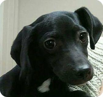 Dachshund Mix Dog for adoption in Morgantown, West Virginia - Brice