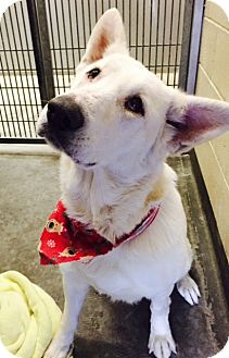 German Shepherd Dog/German Shepherd Dog Mix Dog for adoption in Phoenix, Arizona - Christmas Snow