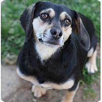 Adopt A Pet :: Sadie-Fostering2Adopt - Fredericksburg, VA
