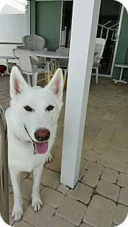 Husky/Shepherd (Unknown Type) Mix Dog for adoption in Cape Coral, Florida - Sky
