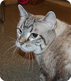 Siamese Cat for adoption in Council Bluffs, Iowa - Chubby