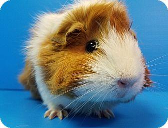 Guinea Pig for adoption in Lewisville, Texas - Fleur