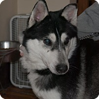 Siberian Husky Mix Dog for adoption in Shingleton, Michigan - Rook