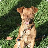 Adopt A Pet :: Bowzer - Meridian, ID