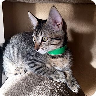 Domestic Shorthair Kitten for adoption in Las Vegas, Nevada - Beth