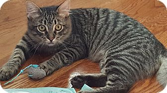 Domestic Shorthair Kitten for adoption in Clarksville, Tennessee - Sugarbear