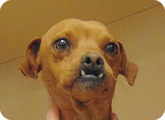 Chihuahua/Terrier (Unknown Type, Small) Mix Dog for adoption in Heber City, Utah - Mike