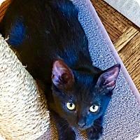 American Shorthair Kitten for adoption in Horseshoe Bay, Texas - Luna
