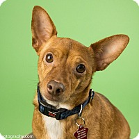 Adopt A Pet :: Rusty - Seattle, WA