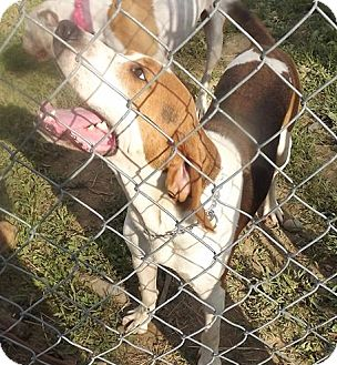 Hound (Unknown Type) Mix Dog for adoption in Clinton, Maine - Jack