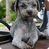 Adopt A Pet :: Curley - Baton Rouge, LA