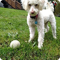 Adopt A Pet :: Lola - Adoption Pending - Gig Harbor, WA