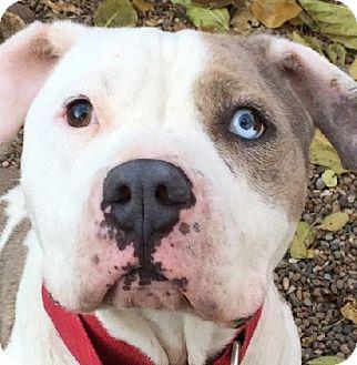 Pit Bull Terrier/Catahoula Leopard Dog Mix Dog for adoption in Kansas City, Missouri - Po'Boy