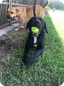 Labrador Retriever/Black Mouth Cur Mix Dog for adoption in Myakka City, Florida - Malu