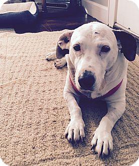 Pointer/Basset Hound Mix Dog for adoption in Indianapolis, Indiana - Haley