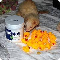 Ferret for adoption in Acworth, Georgia - Margot