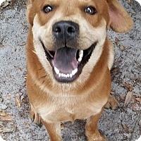 Adopt A Pet :: Comet - Gainesville, FL