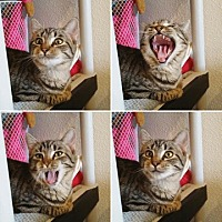 American Shorthair Cat for adoption in Palo Cedro, California - Tilly